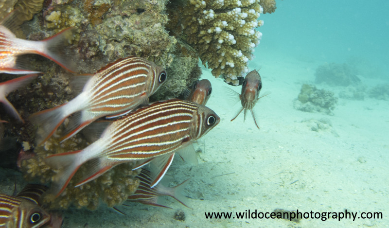 RS010: Squirrelfish - Red Sea / Sinai Peninsula