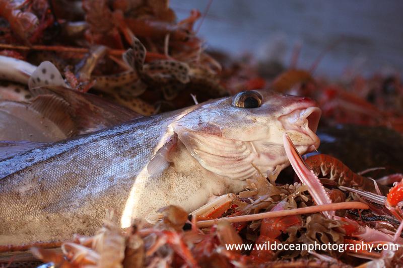 HTF008: Haddock - Trawl Fisheries