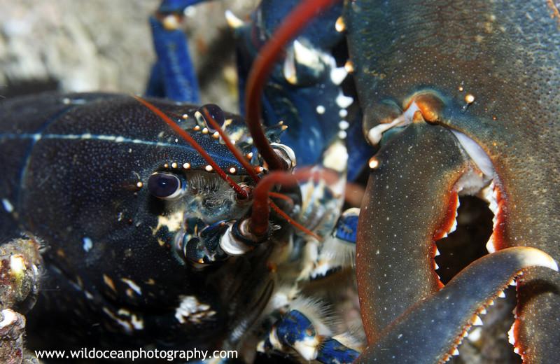 UML022: Lobster - Marine Life