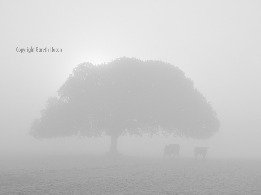 Cows in the Mist - Fine Art Editions 1 of 8