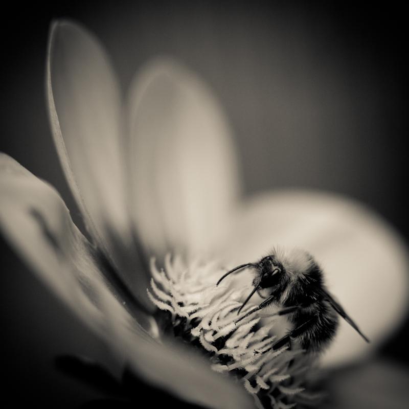 Dahlia and Bee - My Back Garden
