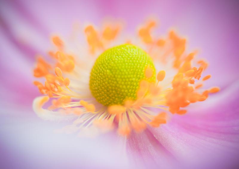 Japanese Anemone - My Back Garden