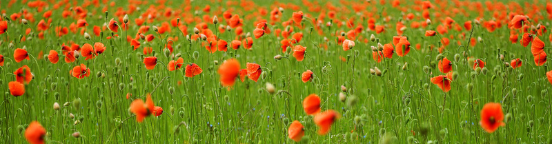 Poppy - The Colours