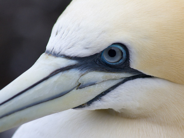 Gannet portrait - Dave Softley