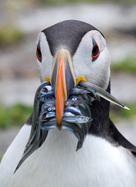Puffin wit Sand eels - Dave Softley