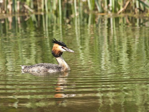 Great Crested Grebe - Dave Softley