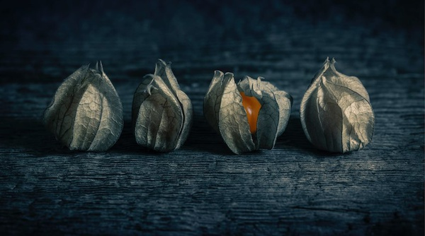 Four Physalis - Still Life