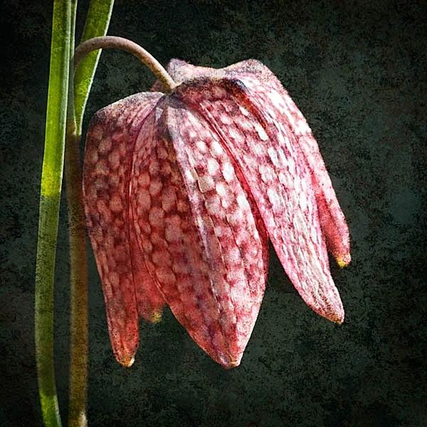 F015 Fritillaria Meleagris - Still Life