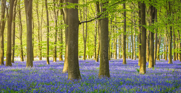 Bluebell Wood - Landscapes