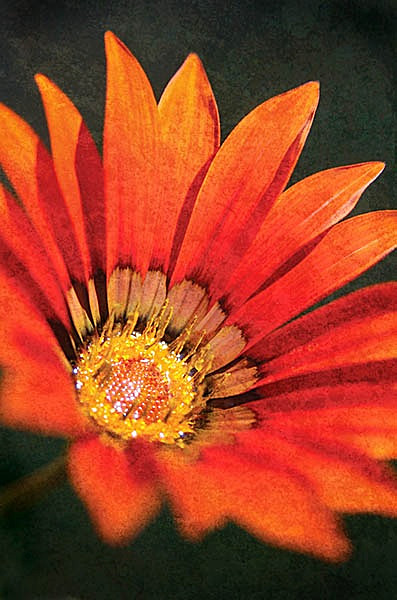F051 Orange Beauty - Still Life