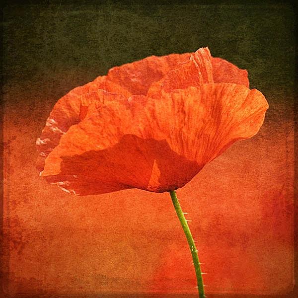 F119 Poppy in a Sea of Red x1 copy - Still Life