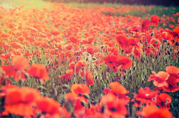 Poppy Love - Landscapes