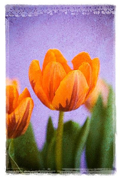 F027 Tulips - Still Life
