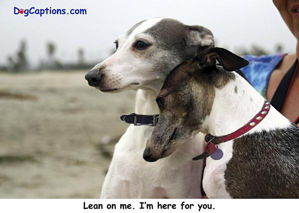 - Greyhounds