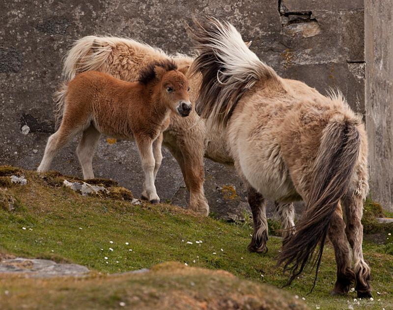 Shetland Pony 5... - South Uist trip...
