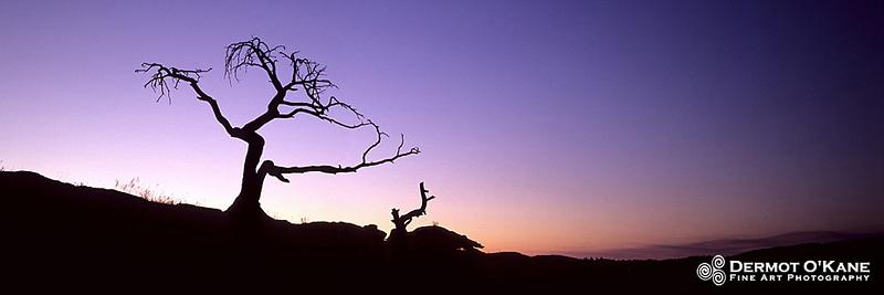 The Burmis Tree - Panoramic Horizontal Images