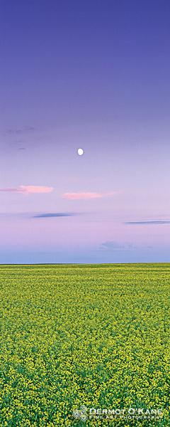 Canola Moonrise - Panoramic Vertical Images