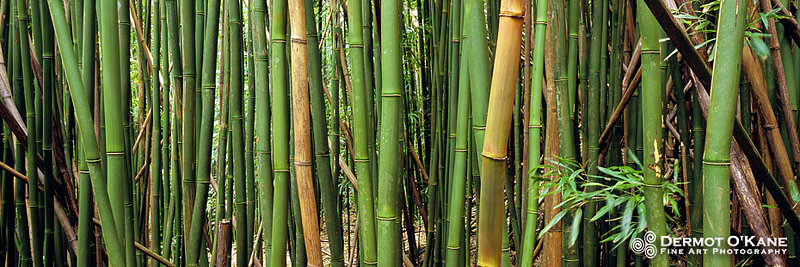 Bamboo Forest - Panoramic Horizontal Images