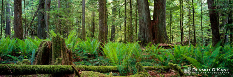 Cathedral Grove - Panoramic Horizontal Images