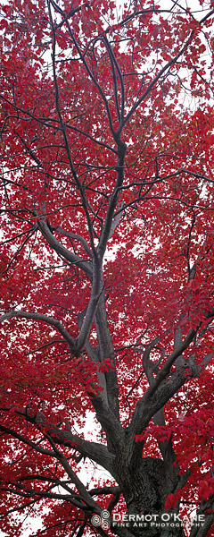 Red Maple - Panoramic Vertical Images