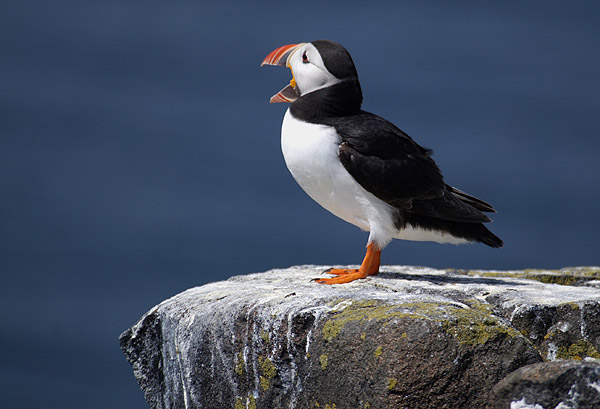 Call of the Puffin - Wildlife photography