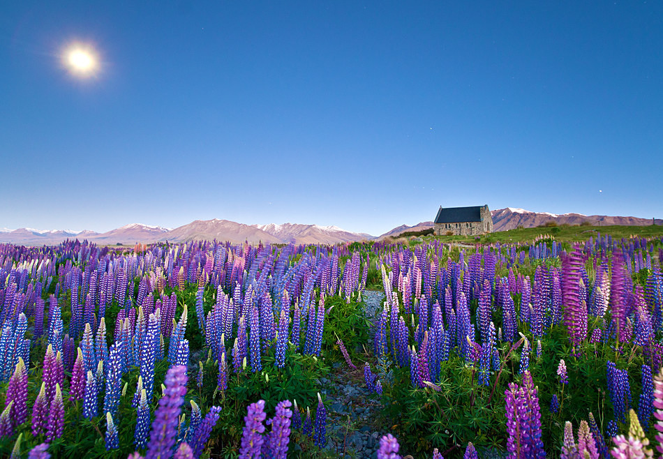 Wild lupins - New Zealand South Island