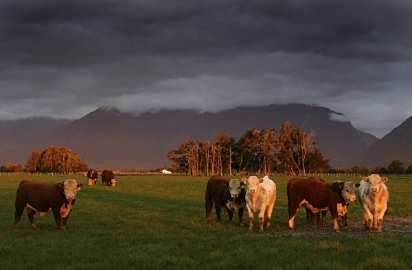 Cattle grazing, West Coast - Extremes of New Zealand