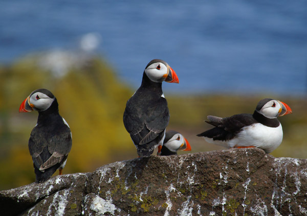 Puffins - Wildlife photography