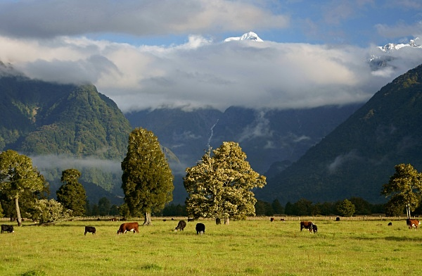Cattle grazing at the foot of mount tasman - New Zealand South Island