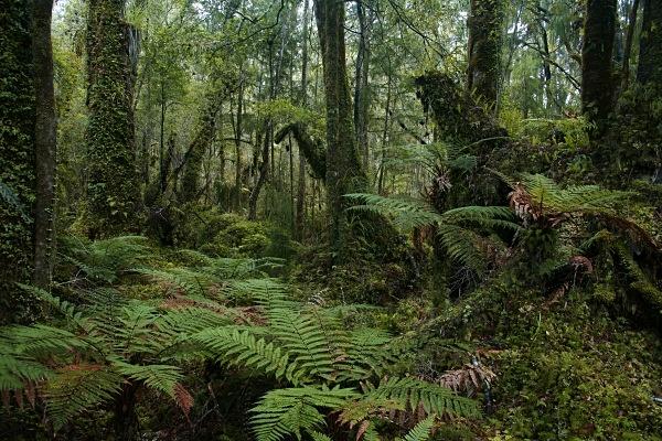 Native swamp rainforest - Extremes of New Zealand