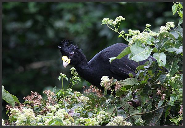 Great currasow - Birds of Costa Rica