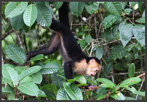 White-thrated capuchin monkey - Costa rica