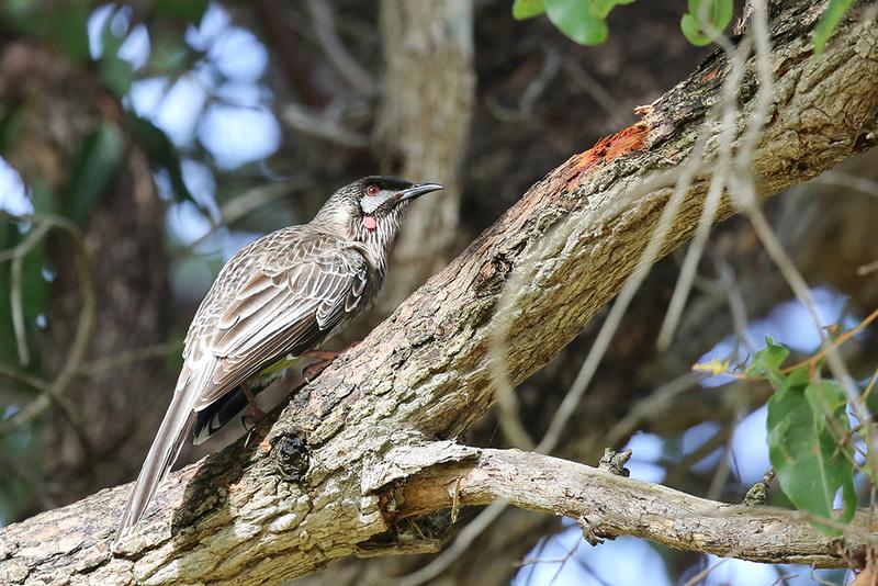 Red wattlebird - Australia