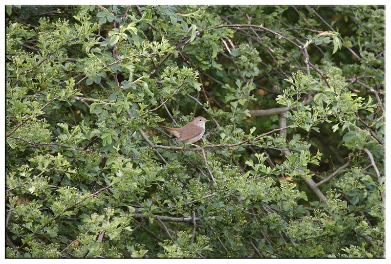 Nightingale - Common and Countryside Birds