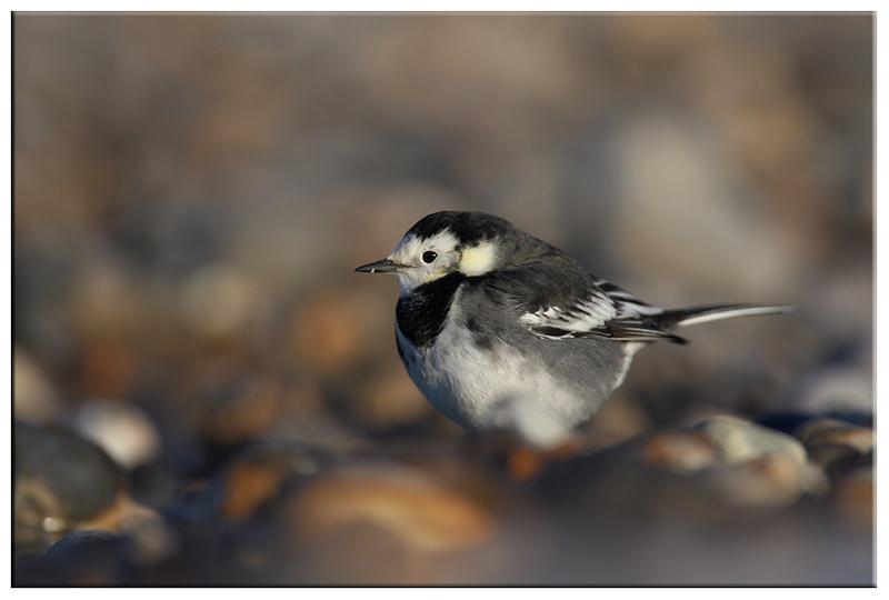 Pied Wagtail - Coastal and Wading Birds