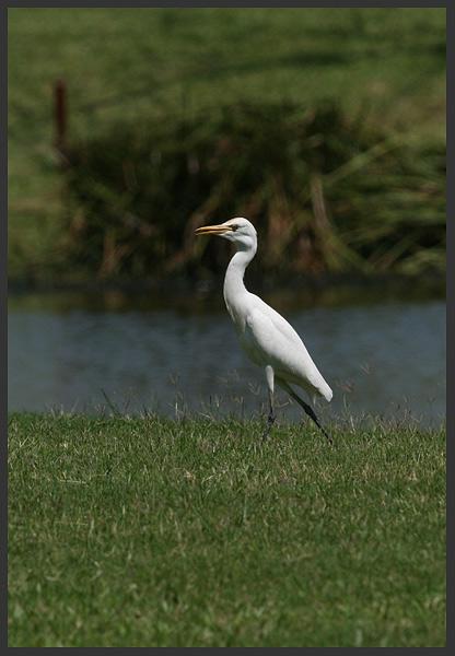 cattle egret - Borneo 2007