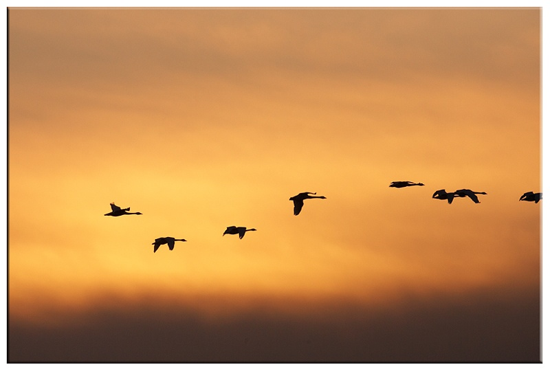 Whooper Swans - Wetland and Wildfowl Birds