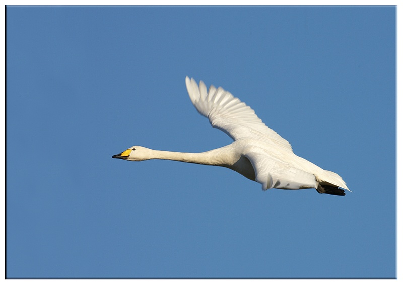 Bewick Swan - Wetland and Wildfowl Birds
