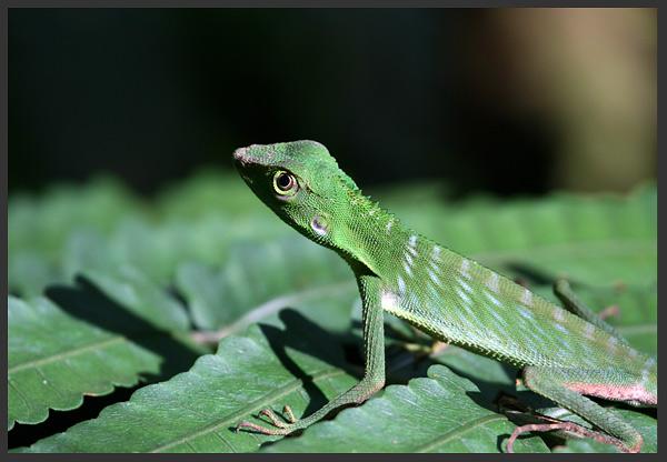 Bronchocella Cristatella - Borneo 2007