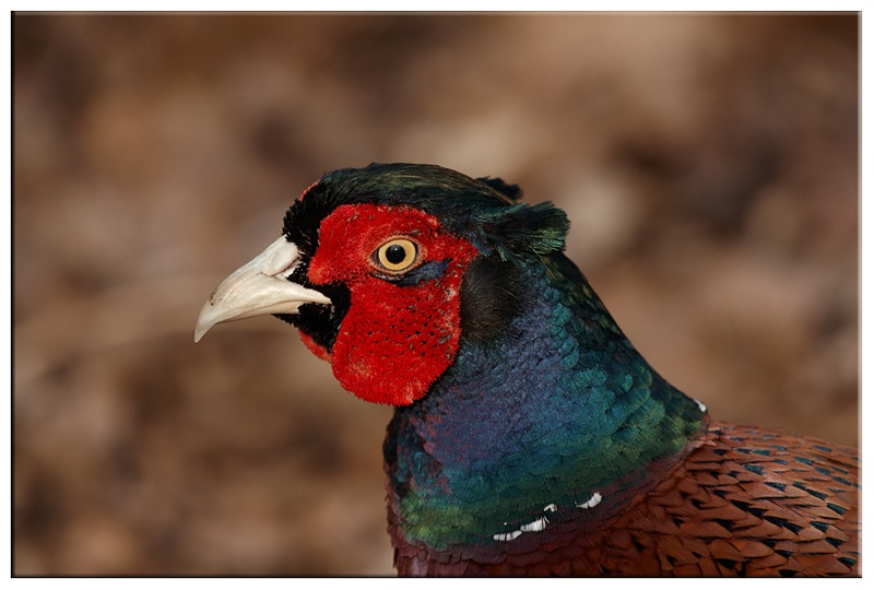 Male Pheasant - Common and Countryside Birds