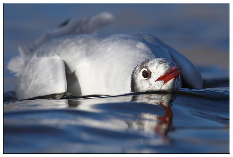 Black Headed Gull - Coastal and Wading Birds