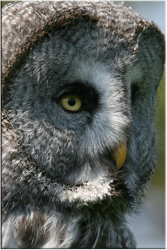 Great Grey Owl (captive) - Owls