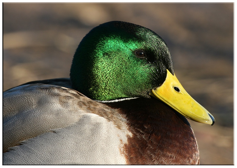 Drake Mallard - Wetland and Wildfowl Birds
