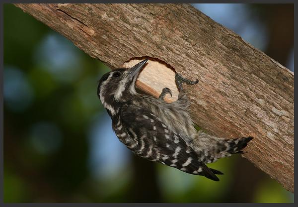 Brown-capped woodpecker - Borneo 2007