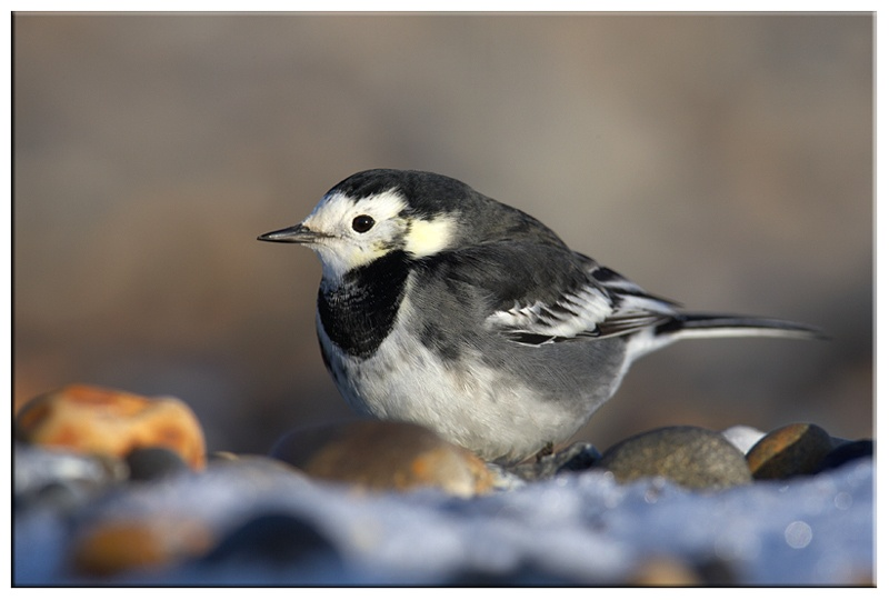Pied Wagtail - Coastal and Wading Birds