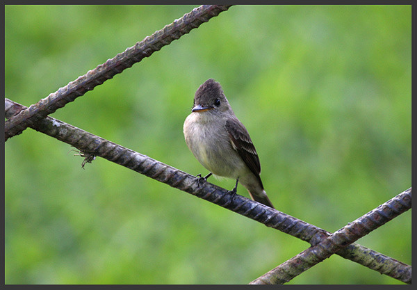 Flycatcher - Birds of Costa Rica