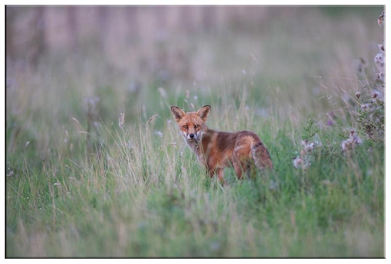 Fox - British wildlife