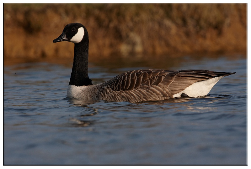 Canadin Goose - Wetland and Wildfowl Birds