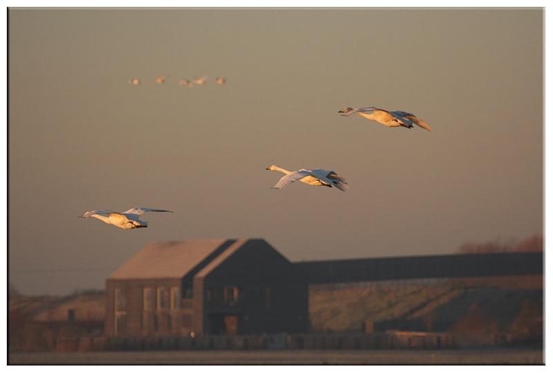 Bewick Swans - Wetland and Wildfowl Birds