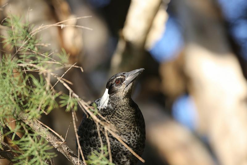 Australian Magpie - Australia